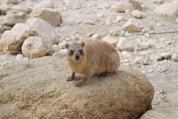Ein Gedi Rock hyrax עין גדי שפן סלעים